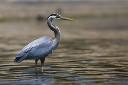 Heron Homecoming at Fountain Creek Nature Center