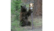 Colorado Bears Emerge From Hibernation