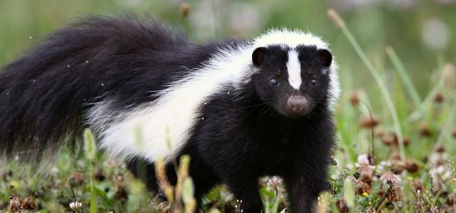 Rabid Skunk Found South of Colorado Springs Airport