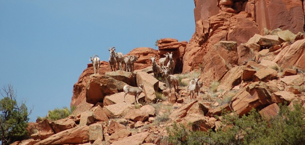 Colorado Plan for Desert Bighorns